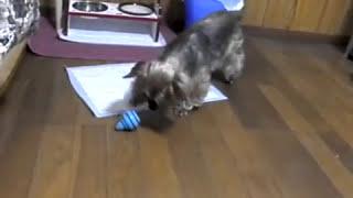 ヨーキー玩具投げまくる Yorkie Throw & Drop Toy! ヨークシャテリア Yorkshire Terrier