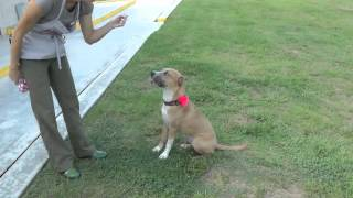 Honeybun-female Hound Boxer