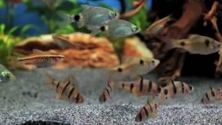 Аквариумные барбусы