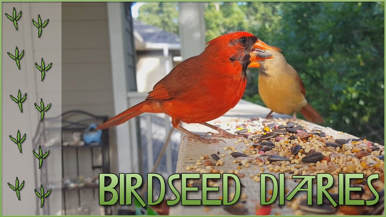 a beautiful pair of cardinals with big appetites birdseed