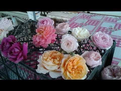 розы остина  обзор сортов  питомник полины козловой