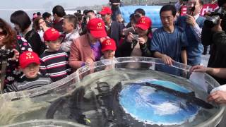 Protecting the Chinese sturgeon