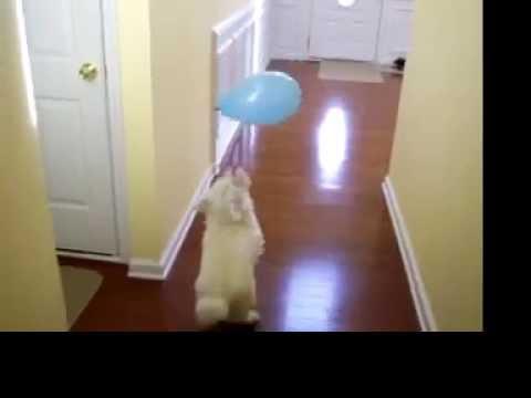 Funny Dog Popping Balloon