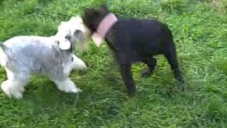 Standard Schnauzer (skansen Kennels) Puppy 3 Months Old.