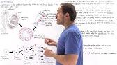 Spermatogenesis youtube 706 ccuart Choice Image