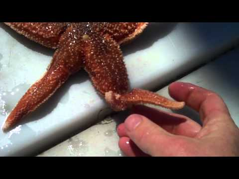 Starfish (Seastars) Regenerating their Arms with Tidepool Tim of Gulf of Maine Biological Supply