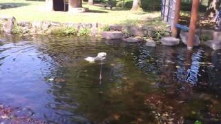 ワイヤー・フォックス・テリアのアッシュ。総合公園の池に恐る恐る・・・・