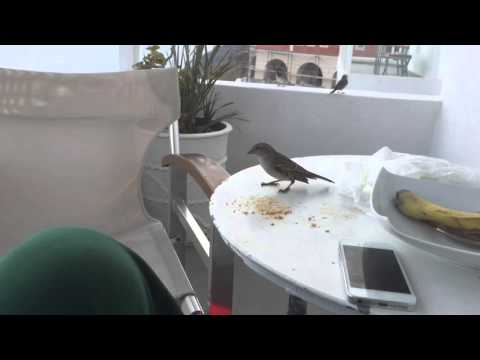 Sparrows from santorini Greece