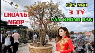 CHOÁNG NGỢP Cây Mai 3 TỶ Nhưng Chủ Vườn Mai Vẫn Không Bán - Văn Hải TV