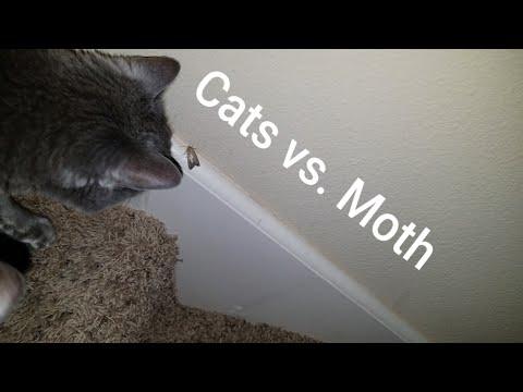Cats vs. Moth - Thunder & Jericho