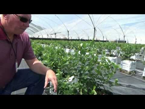 Excessive water stress in blueberry plants