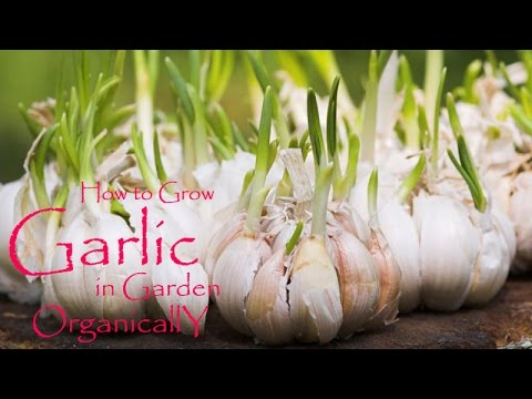 Grow garlic in the garden organically | How-2-Do It Guide Step By Step | Best Guide (HIndi | Urdu)