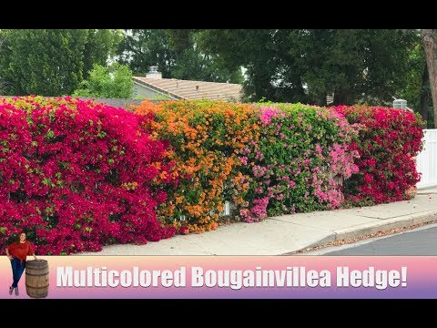 Multicolored Bougainvillea Hedge in Los Angeles!