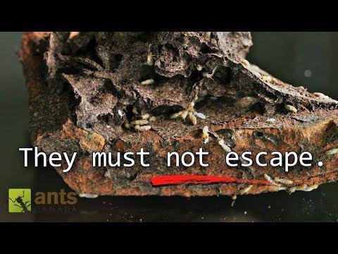 My New Massive Termite Farm - termite queen lays 40,000 eggs per day