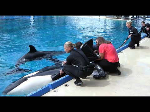 Killer Whale Milk Study at SeaWorld San Diego | SeaWorld San Diego