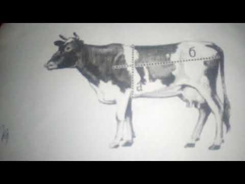 Способ замера бычков без весов и мерной ленты и способ замера поросят