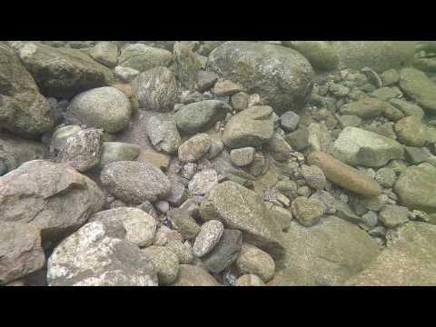 장마후 바위 밑 꺽지 찾기. 시커먼 꺽지 출현