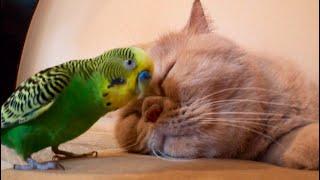 Попугай достает кота а кот мурлыкает.