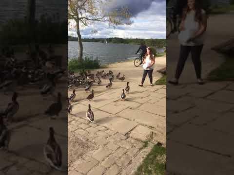 Feeding the ducks gone wrong