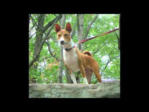 Basenji (dog breed HD slide show)! / Басенджи  !