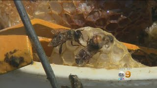 Son Says Mom Will Survive Africanized Bee Swarm Attack