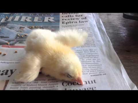 Weak Chick (HD)