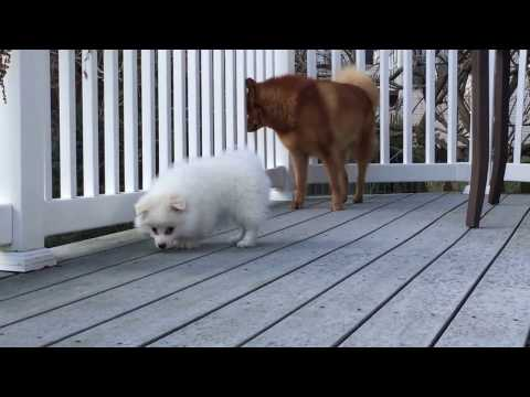 American Eskimo puppy challenged an older Finnish Spitz (2)