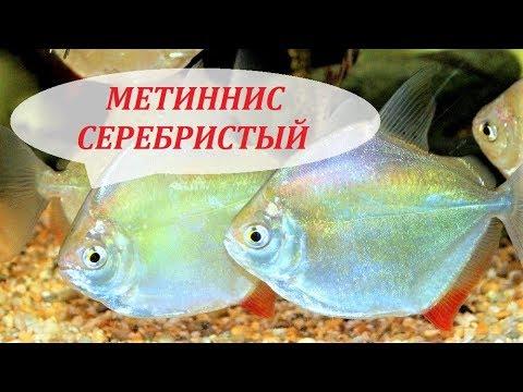 Метиннис Серебристый в аквариуме. Содержание, совместимость, разведение, чем кормить