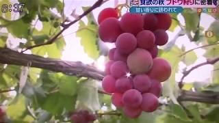 2017年9月14日放送「BSNテレビ ゆうなび【定点ウォッチ】」in坂上ぶどう園