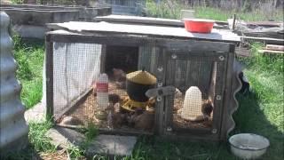 Содержание цыплят весной на улице(, 2012-05-03T18:30:48.000Z)