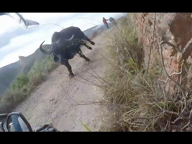 Lesersvideo: En toe draai die buffel om...