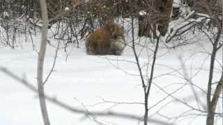 Лесной дикий кабан Годжи)))))))