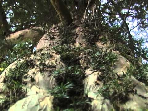 Армения. Тисовый лес. | Film Studio Aves