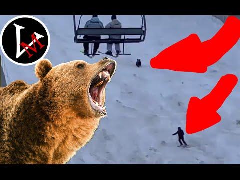 Niedźwiedź goni narciarza.