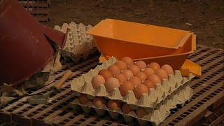 Scandale des œufs contaminés: la France également touchée