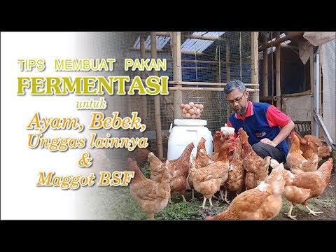 Tips Komplit Fermentasi Pakan Untuk Ayam, Bebek & Memancing Maggot BSF
