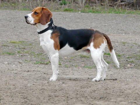 Beagle Harrier / Raza de Perro