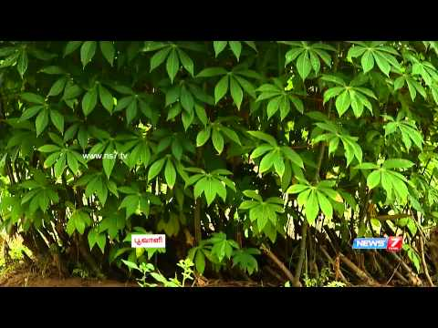 Tips to grow banana plantation & tapioca naturally | Poovali | News7 Tamil