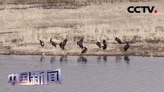 [中国新闻] 青海互助:30只黑鹳现身南门峡 | CCTV中文国际