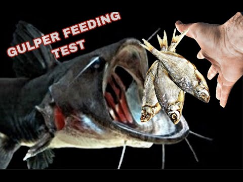 GULPER CATFISH FEEDING *TEST *