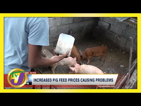 Increased Pig Feed Prices Causing Problems in Jamaica   TVJ News