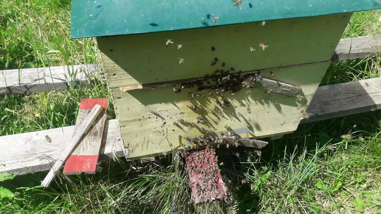 Ловим рой пчёл