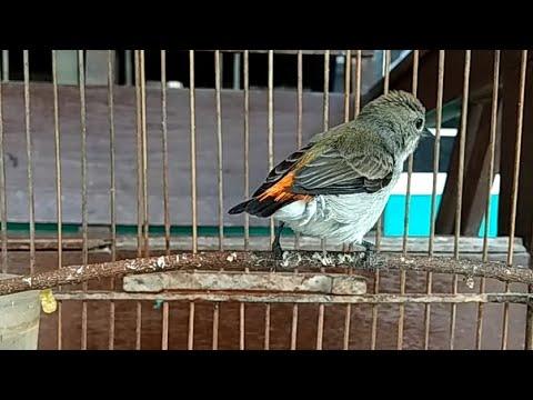 Download Suara Kemade Betina Gacor , Bisa Untuk Pancingan Burung Cabe Cabean Jantan Bahan Agar Cepat Bunyi