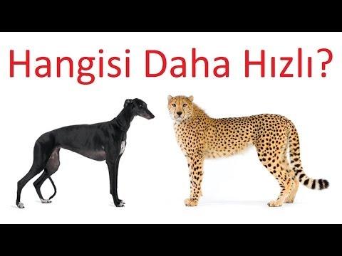Çitalar Ve Dünya'nın En Hızlı Köpekleri