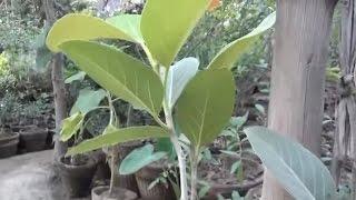 How to Make Bonsai of Banyan Tree at Home   Bonsai Tree Facts   Wild Bonsai (Urdu/hindi)