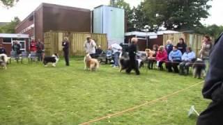 Dog CC winner Irish Collie Ch. Show 2010.