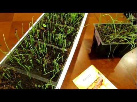 Seed Starting Onions and Leeks Indoors: Save Money!: The Rusted Garden 2013