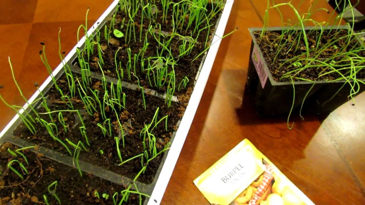 Seed Starting Onions And Leeks Indoors: Save Money!: The Rusted Garden 2013    YouTube