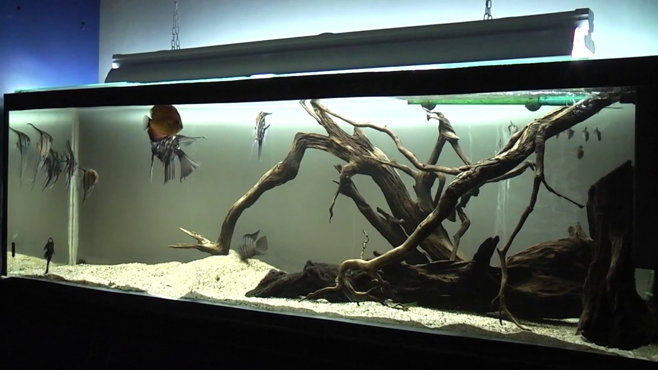 Fish tank wood - Wild Wood Roots Fish Tank Central And South American Cichlids Youtube