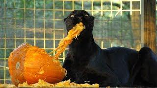 Black Leopard VS Pumpkins